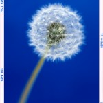CLIVE BOZZARD-HILL PHOTOGRAPHY, LONDON-dandelion-flower print-flower art
